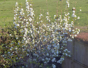 13th Apr 2019 - My pear tree