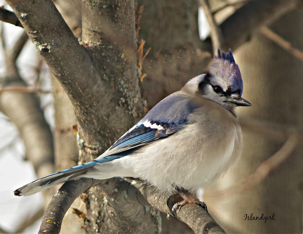 Mr. Blue Jay  by radiogirl