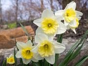 3rd Apr 2019 - Daffodils
