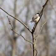 4th Apr 2019 - Black-capped chickadee