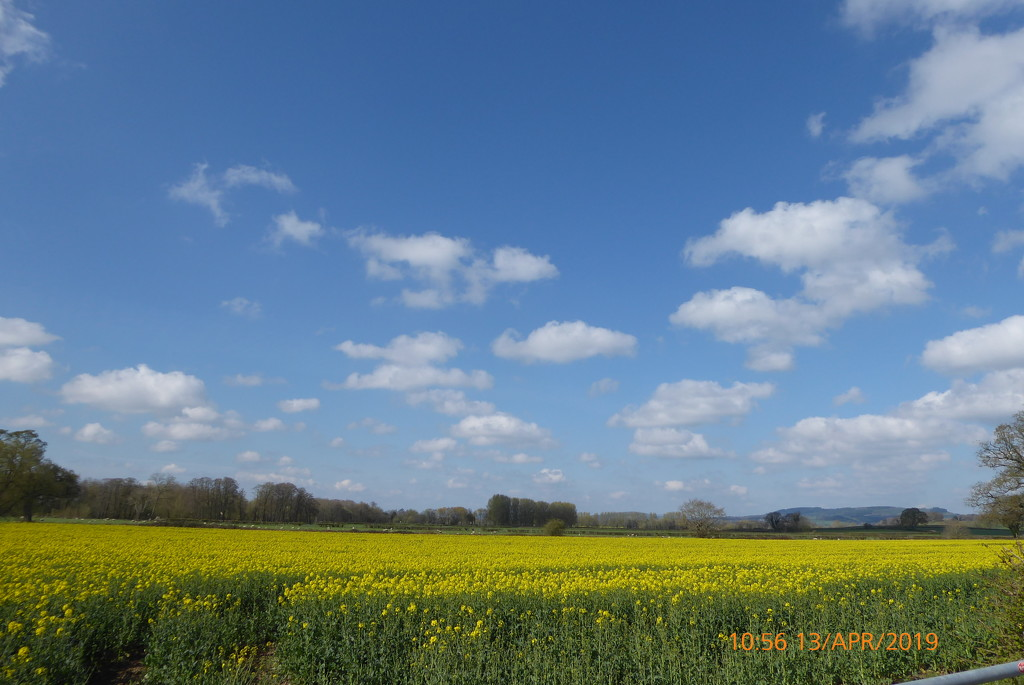 Oil seed rape,as far as you can see.. by snowy
