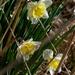daffodils portrait