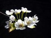 9th Apr 2019 - Garden Blossom