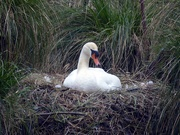7th Apr 2019 - Nesting Swan