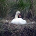 Nesting Swan by cmp