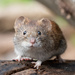 Hi, I'm a little bank vole. Who are you? by phmlq