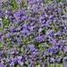 Violets Gone Wild!