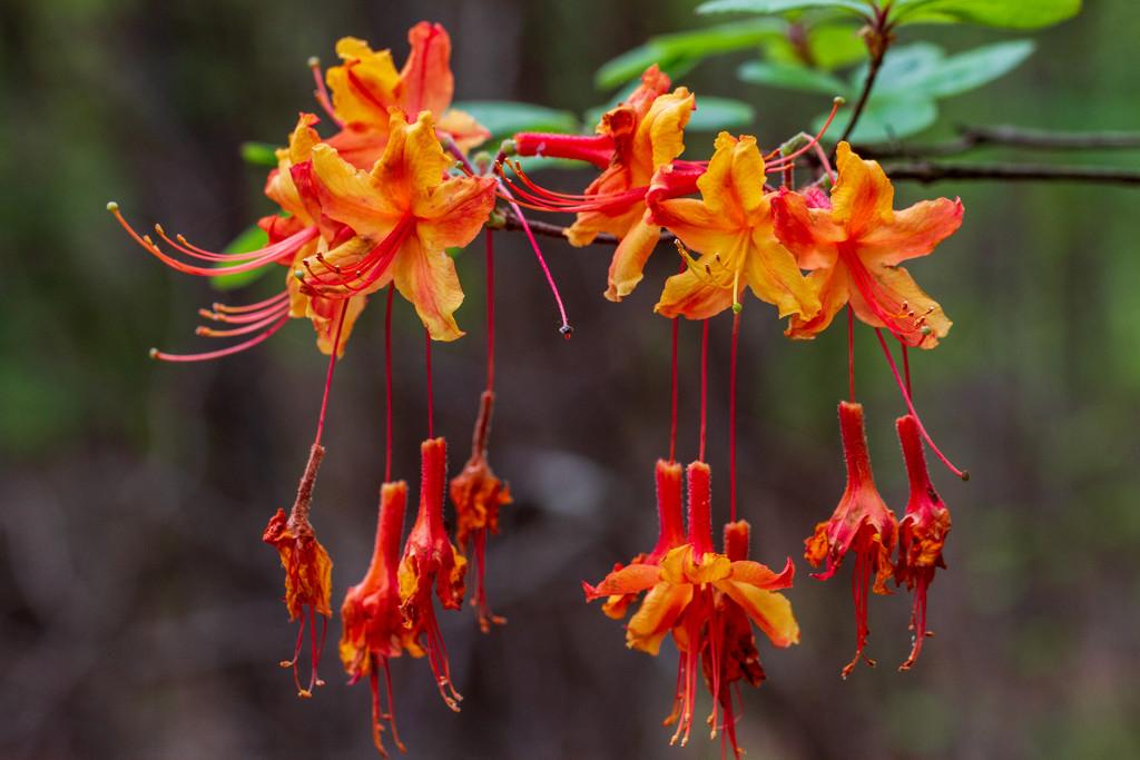 Orange Honeysuckle Azalea by kvphoto