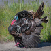 One Badass Turkey by mikegifford
