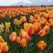 Acres of Tulips