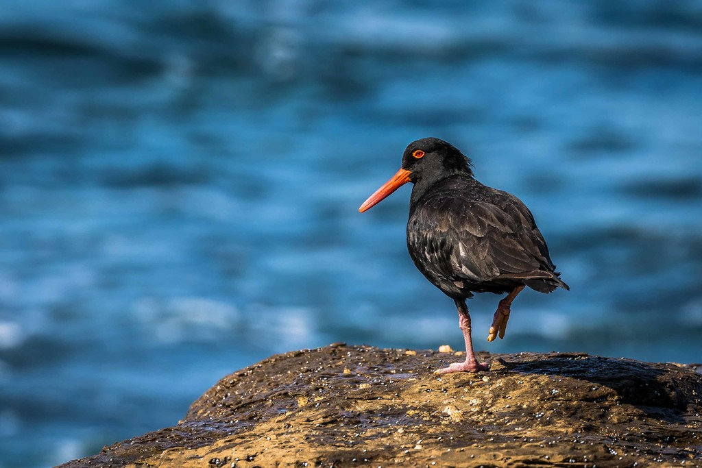 Sooty oyster catcher by pusspup