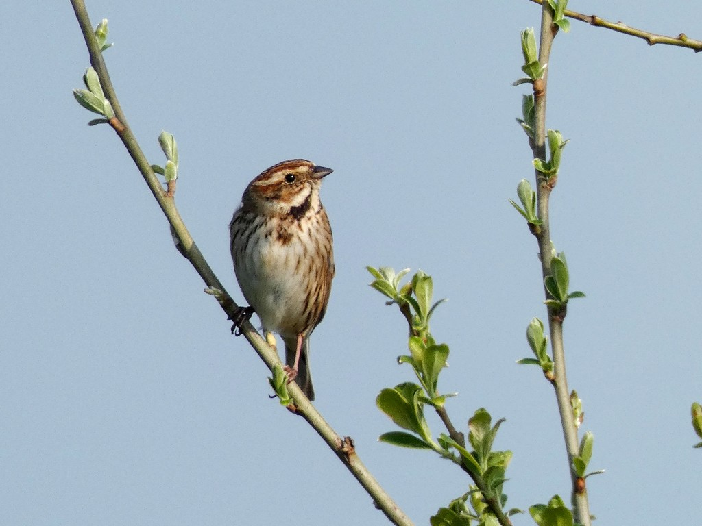 Female Reed Bunting by julienne1