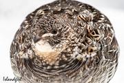 14th Apr 2019 - Our Pet Partridge