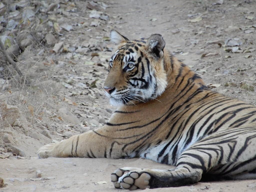 Tiger spotting  by busylady