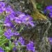 Purple aubretia