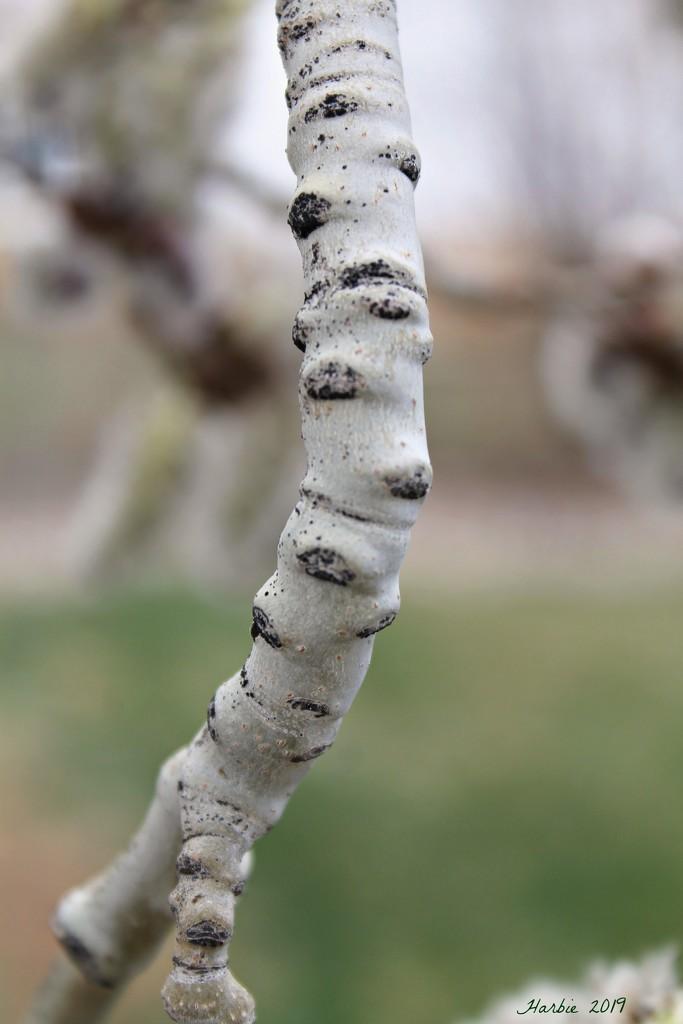 Aspen Branch by harbie