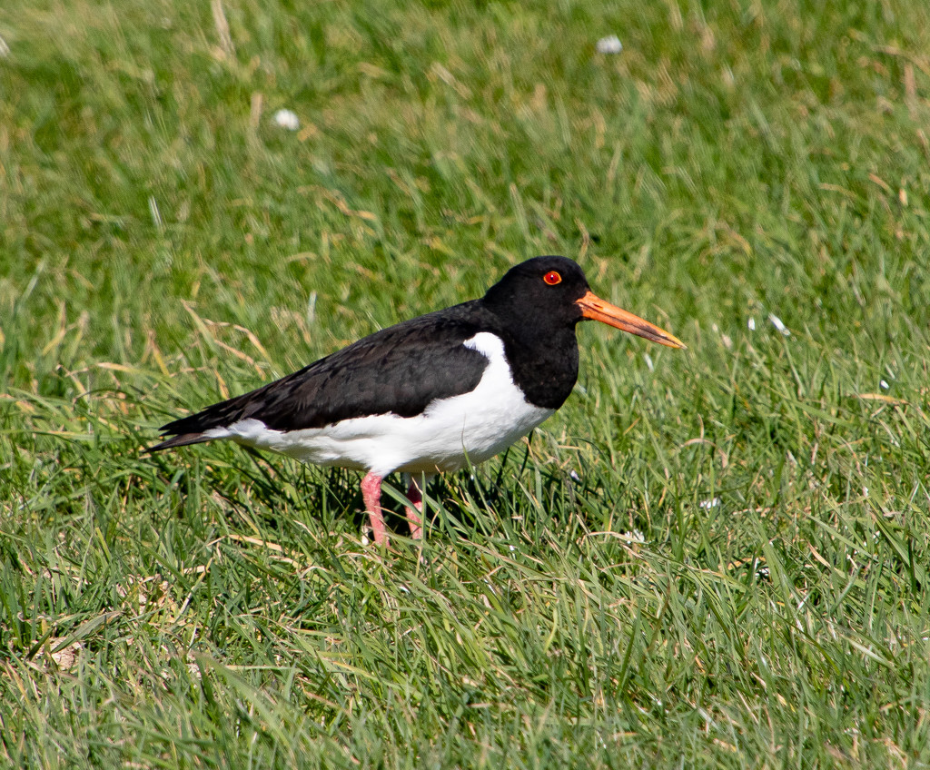 Oystercatcher by lifeat60degrees