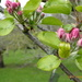 Apple blossom in the orchard  by snowy