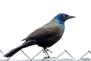 14th Apr 2019 - The beautiful but not so liked Grackle!