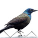 The beautiful but not so liked Grackle!