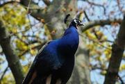 8th May 2019 - Peacock at Holland Park