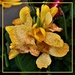 Variegated Canna Lily ~