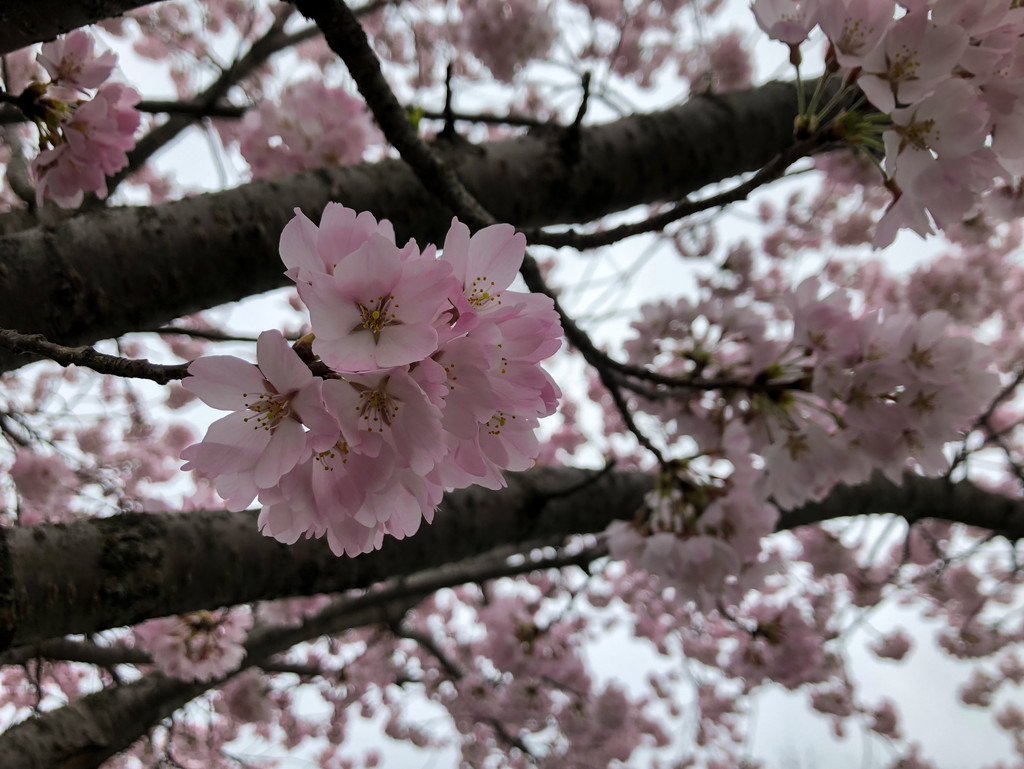 Cherry Blossom by loweygrace