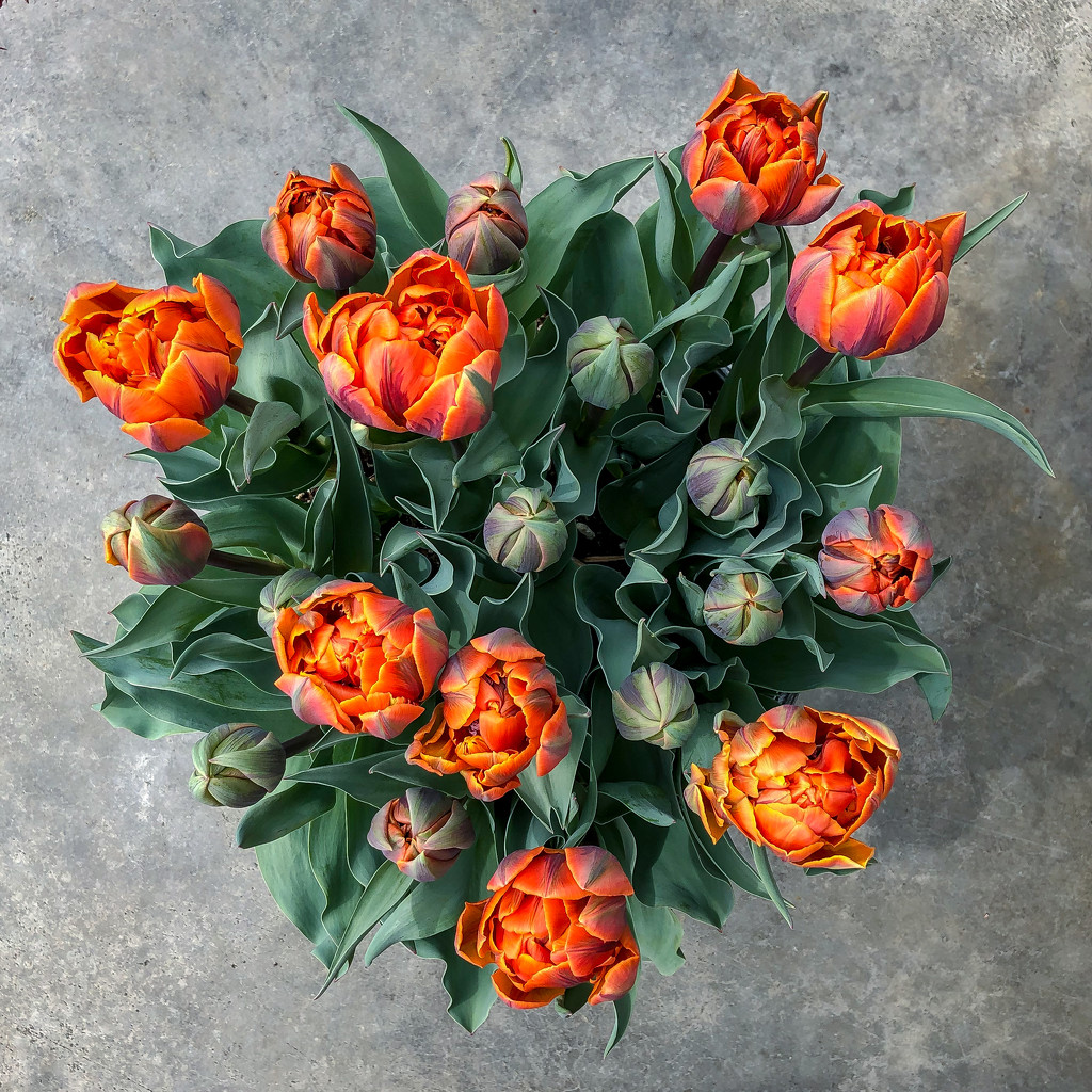 Costco Tulips by kwind
