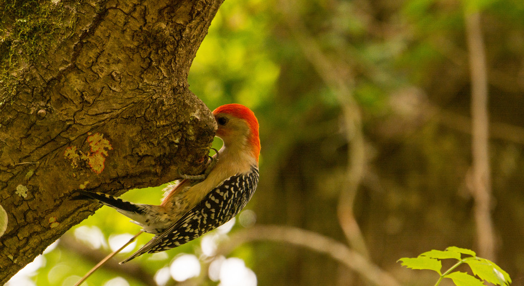 Woodpecker Being Shy! by rickster549