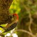 Woodpecker Being Shy!