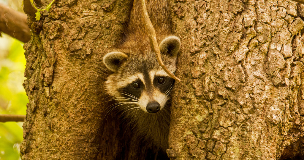 Rocky Raccoon, Trying to Come Out of the Tree! by rickster549