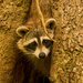 Rocky Raccoon, Trying to Come Out of the Tree!