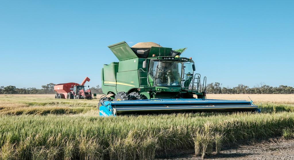 Rice harvest by golftragic