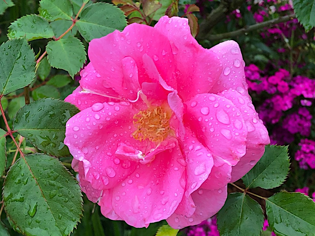 Rose, Hampton Park by congaree
