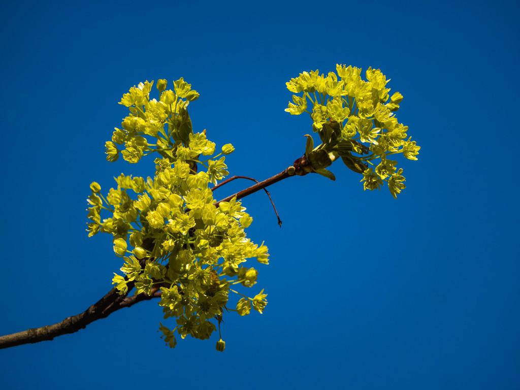 Lime inflorescence by haskar