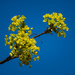 Lime inflorescence by haskar