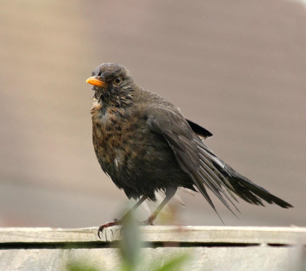 Wet Blackbird  by wendyfrost