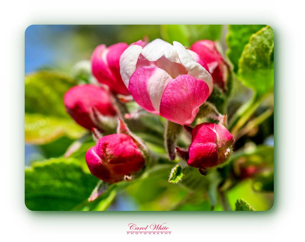Budding Blossom by carolmw