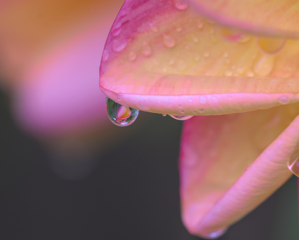 Refreshed By The Rain _DSC6022 by merrelyn