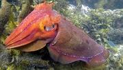 15th Apr 2019 - Giant cuttlefish