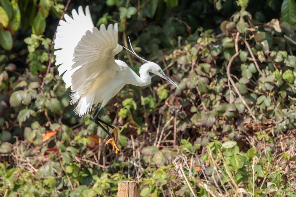 Little Egret aiming to land by padlock