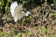15th Apr 2019 - Little Egret aiming to land
