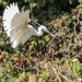 Little Egret aiming to land