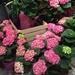 Hydrangeas at the supermarket