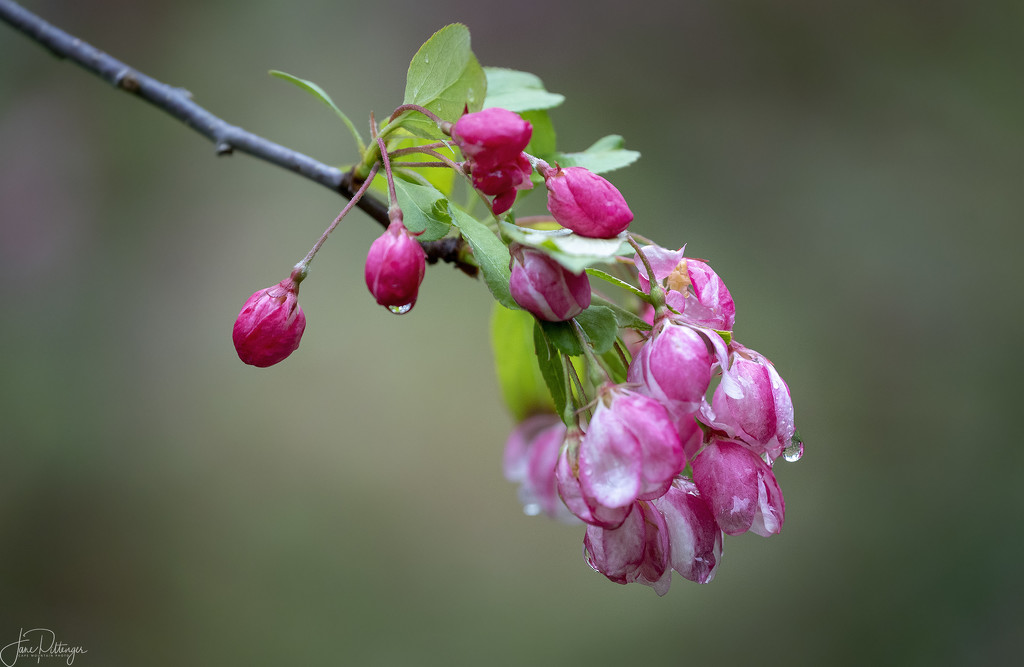 Ornamental Crab Apple Blooms by jgpittenger