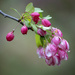 Ornamental Crab Apple Blooms