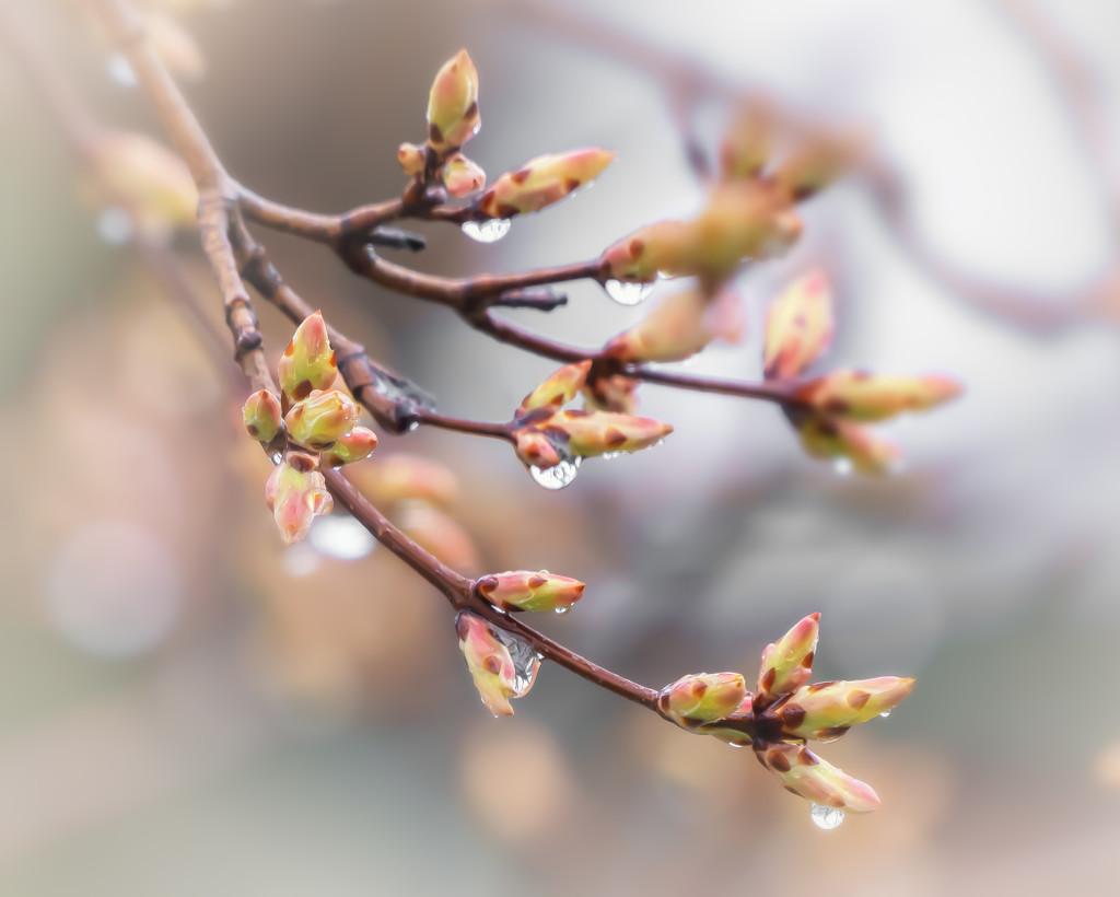 maple leaf buds by jernst1779