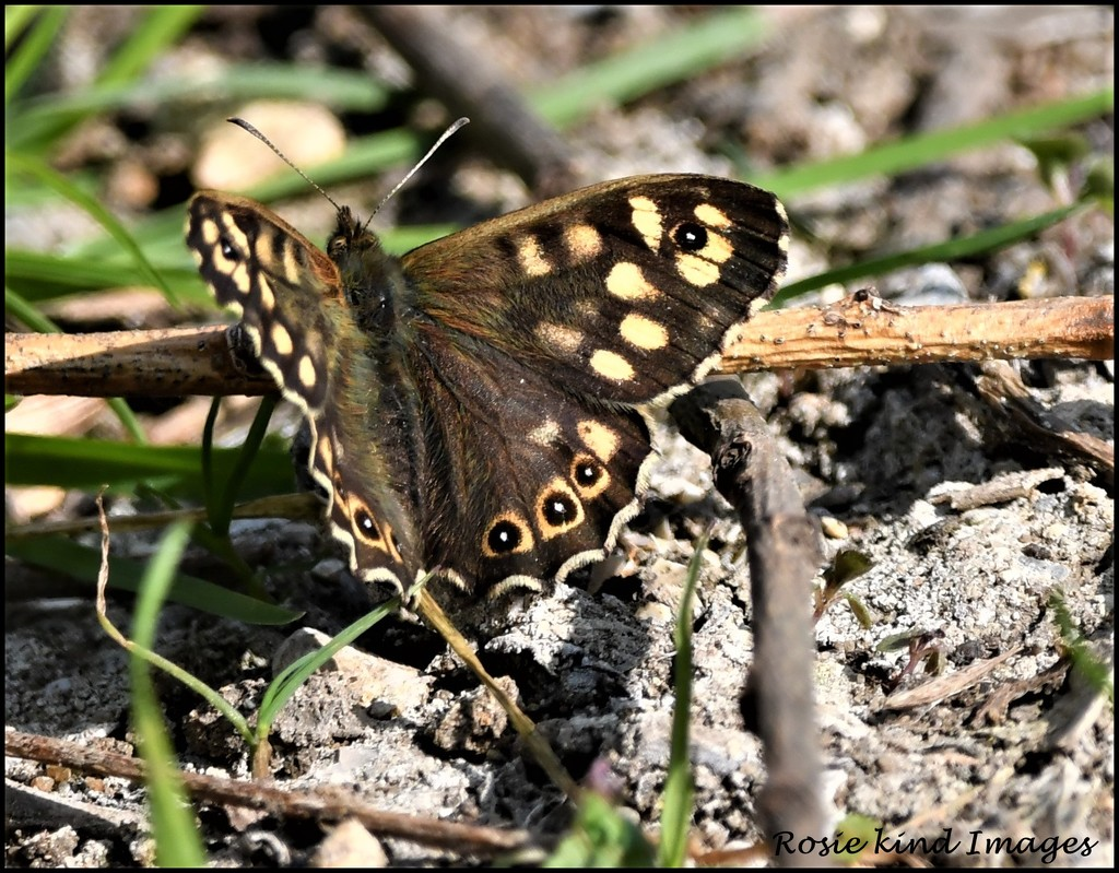 Woodland brown by rosiekind
