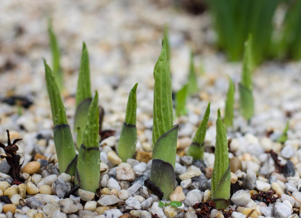 New Hosta Leaves by loweygrace