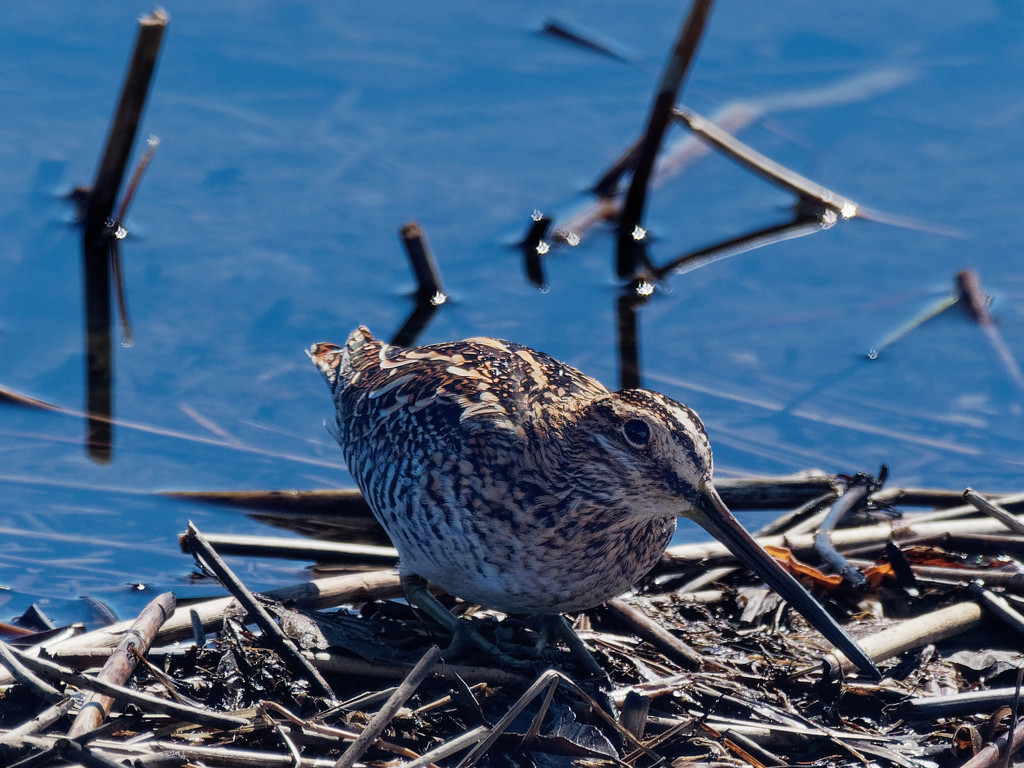 Wilson's snipe on the shore by rminer